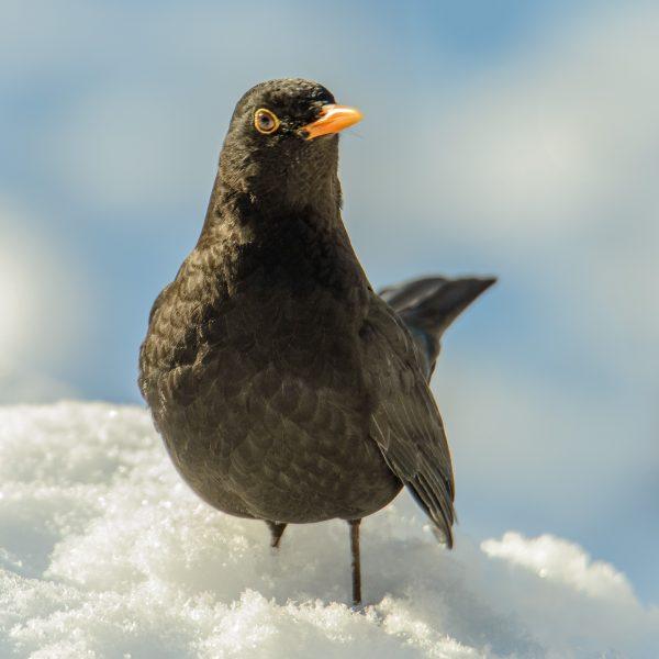 Öringefåglar_2021-02-11_1053_25